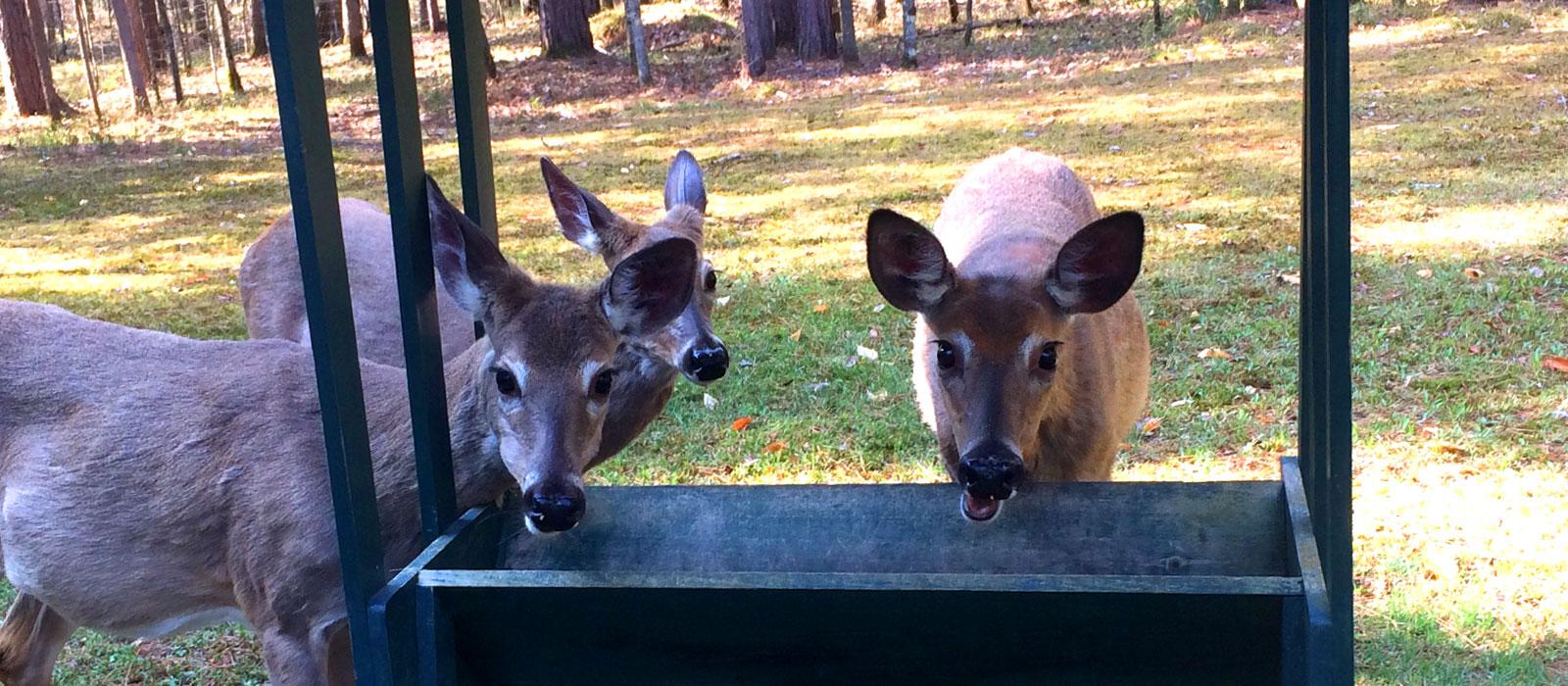 Auberge LeCosy Tremblant - chevreuils-deers